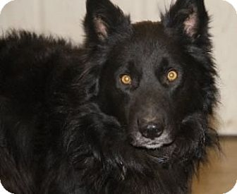 Border Collie/Shepherd (Unknown Type) Mix Dog for adoption in Avon, New York - Bear