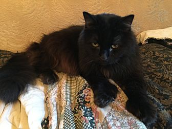 Domestic Longhair Cat for adoption in Woodland, California - Dusty
