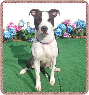 American Pit Bull Terrier Mix Dog for adoption in Marietta, Georgia - STAR-reclaimed