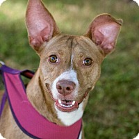 Adopt A Pet :: Missy - Knoxville, TN