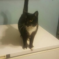 Domestic Shorthair Cat for adoption in Knoxville, Tennessee - Huntress