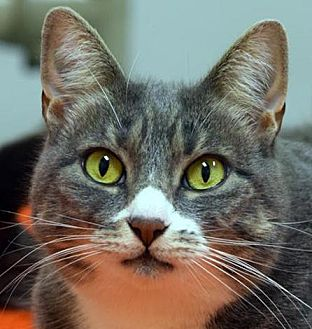 Domestic Shorthair Cat for adoption in Norwalk, Connecticut - Zatz