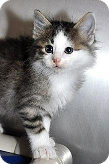 Domestic Longhair Kitten for adoption in Fort Leavenworth, Kansas - Puddle