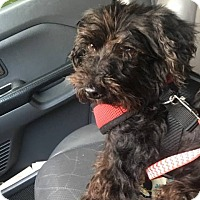 Adopt A Pet :: Lil Scruffy - Harrisonburg, VA