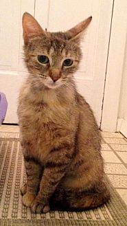 Domestic Shorthair Cat for adoption in River Edge, New Jersey - Lady