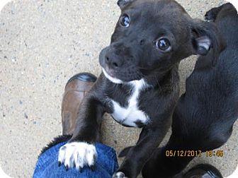 Cairn Terrier/Labrador Retriever Mix Puppy for adoption in Oswego, New York - TIKA