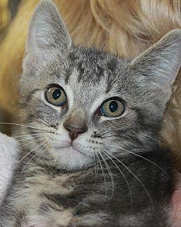 Domestic Shorthair Kitten for adoption in Clayton, New Jersey - DAISY & TULIP