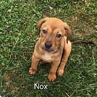 Adopt A Pet :: Nox - ST LOUIS, MO