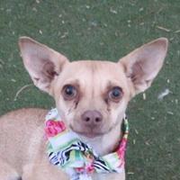 Adopt A Pet :: *ACELINE - Las Vegas, NV