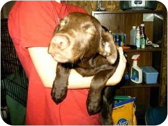 Labrador Retriever Mix Puppy for adoption in Baltimore, Maryland - RIver