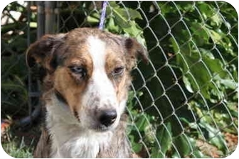 Border Collie Dog for adoption in San Pedro, California - ELLIE