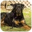 Photo 2 - Rottweiler Dog for adoption in Seattle c/o Kingston 98346/ Washington State, Washington - Miles