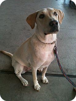 Labrador Retriever Mix Dog for adoption in Phoenix, Arizona - Mia