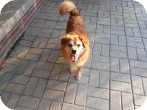 Cocker Spaniel/Pomeranian Mix Dog for adoption in Pineville, North Carolina - Pumpkin