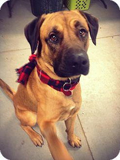 Mastiff/Shepherd (Unknown Type) Mix Dog for adoption in Grafton, Ohio - ISLAND