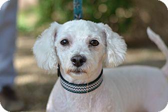 Bichon Frise Mix Dog for adoption in Gilbert, Arizona - Linus