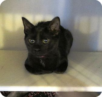 Domestic Shorthair Cat for adoption in Geneseo, Illinois - Relda