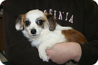 Chihuahua Mix Dog for adoption in Alexandria, Virginia - Abbey