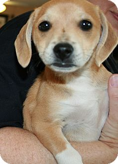 Terrier (Unknown Type, Small)/Beagle Mix Puppy for adoption in San Antonio, Texas - Pearl