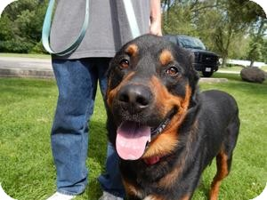 Rottweiler/Shepherd (Unknown Type) Mix Dog for adoption in Sidney, Ohio - Rocky