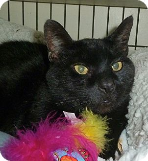Domestic Shorthair Cat for adoption in Carmel, New York - Buddy