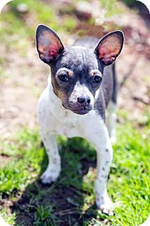 Chihuahua Puppy for adoption in Tinton Falls, New Jersey - Cruz