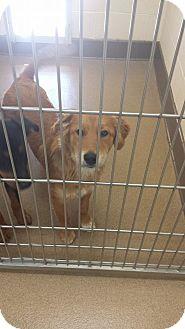 Golden Retriever/Shepherd (Unknown Type) Mix Puppy for adoption in Las Vegas, Nevada - Dylan