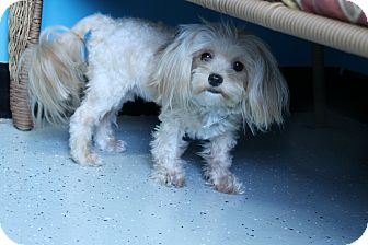 Poodle (Miniature)/Shih Tzu Mix Dog for adoption in Hibbing, Minnesota - Mocha