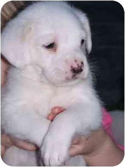 Dachshund/Poodle (Standard) Mix Puppy for adoption in Corpus Christi, Texas - Conner