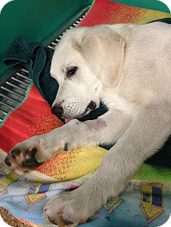 Great Pyrenees Mix Puppy for adoption in Homer, New York - Sweet Baby James