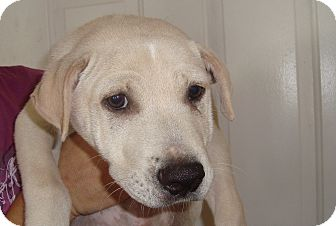 Shar Pei Mix Puppy for adoption in Old Bridge, New Jersey - Lamar