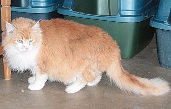 Domestic Longhair Cat for adoption in Golden Valley, Arizona - Kaju