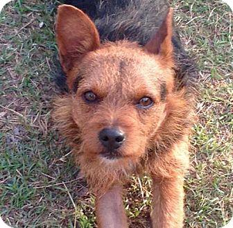 Australian Terrier Mix Dog for adoption in New Smyrna beach, Florida - Tug