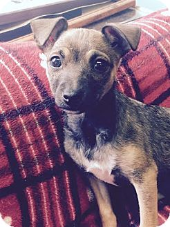 Terrier (Unknown Type, Small) Mix Puppy for adoption in San Francisco, California - Pumpkin