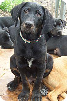 Labrador Retriever/Hound (Unknown Type) Mix Dog for adoption in Owatonna, Minnesota - Rex