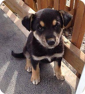 Shepherd (Unknown Type) Mix Puppy for adoption in Regina, Saskatchewan - Sherry - ADOPTION PENDING