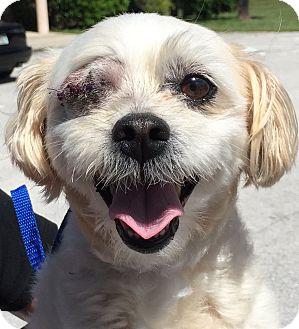 Maltese/Shih Tzu Mix Dog for adoption in Orlando, Florida - Coliflor