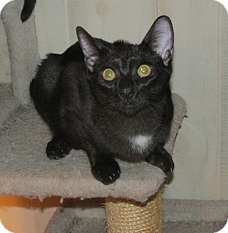 Domestic Shorthair Kitten for adoption in Tampa, Florida - Zeus Greek God