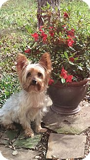 Yorkie, Yorkshire Terrier Dog for adoption in Lancaster, Texas - Lacy