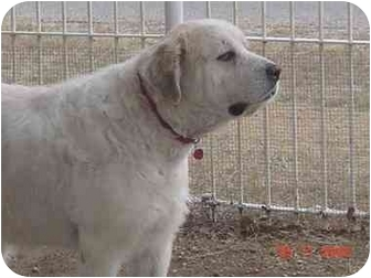 Great Pyrenees Dog for adoption in Kyle, Texas - Rolly