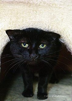Domestic Shorthair Cat for adoption in Tucson, Arizona - Ricci