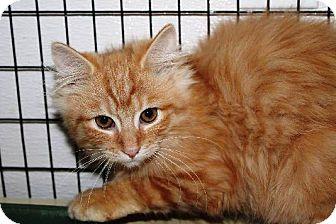 Domestic Mediumhair Kitten for adoption in Kalamazoo, Michigan - Rocky