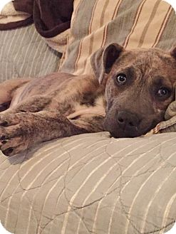 Boxer/Bulldog Mix Puppy for adoption in Harrisburg, Pennsylvania - MAX