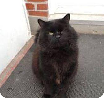Domestic Mediumhair Cat for adoption in THORNHILL, Ontario - Sumo