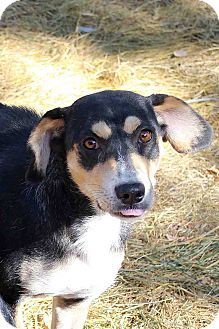 Shepherd (Unknown Type) Mix Dog for adoption in Westminster, Colorado - Madison