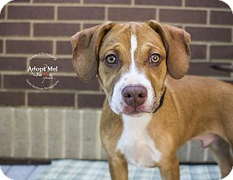 Pit Bull Terrier Mix Puppy for adoption in Charlotte, North Carolina - Dale (Chipmunks Litter)