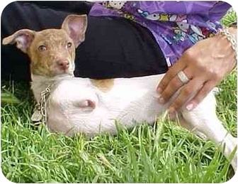 Jack Russell Terrier/Chihuahua Mix Puppy for adoption in West Los Angeles, California - Cassidy