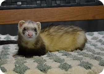 Ferret for adoption in Michigan City, Indiana - Bandit