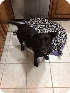 Dachshund/Labrador Retriever Mix Dog for adoption in Forest Hill, Maryland - Allie