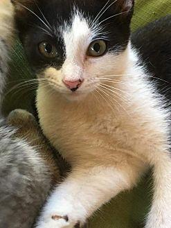 American Shorthair Kitten for adoption in Texarkana, Arkansas - Hickory